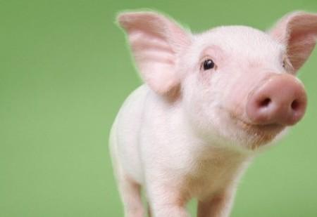 Ano Novo Chinês 2019: O Ano do Porco de Terra